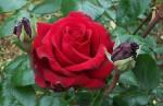 bunga_mawar_merah