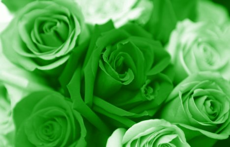 green-valentines-day-roses
