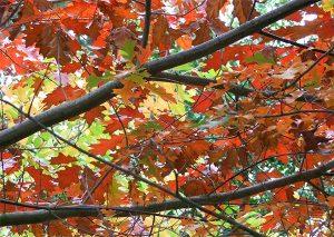 tree-autumn-oak